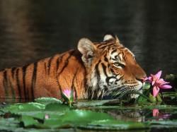 Бангладеш - Бенгальский тигр