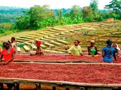 Эфиопия - выращивание кофе