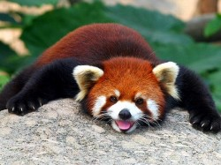 1. Бутан - красная панда
