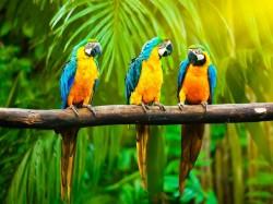 Кирибати -  Попугаи