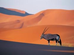 Мавритания - антилопа орикс