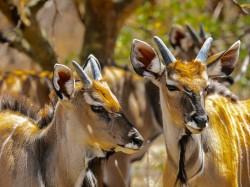 Сенегал - Антилопы