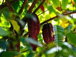 Реюньон -  Шоколад
