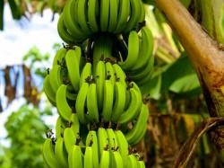 Кука острова - бананы