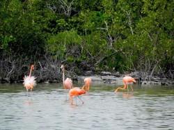 3. Теркс и Кайкос - фламинго в резервате Пампкин-Блафф-Понд
