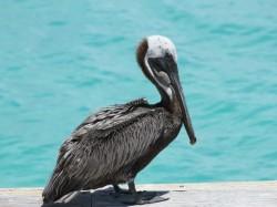 3. Теркс и Кайкос - коричневый пеликан