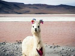 Боливия -  Лама