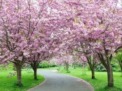 1. Корея Южная - цветение сакуры