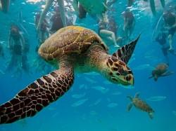 1. Барбадос - морская черепаха