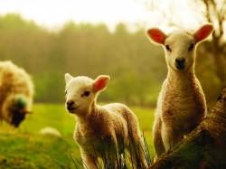 1. Ирландия - овцы