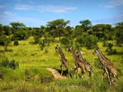 1. Танзания - жирафы в Серенгети