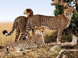 Кения - Леопард