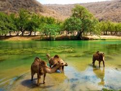Оман - верблюды